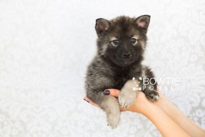 puppy60 week7 BowTiePomsky.com Bowtie Pomsky Puppy For Sale Husky Pomeranian Mini Dog Spokane WA Breeder Blue Eyes Pomskies web6