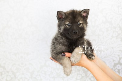 puppy60 week7 BowTiePomsky.com Bowtie Pomsky Puppy For Sale Husky Pomeranian Mini Dog Spokane WA Breeder Blue Eyes Pomskies web6