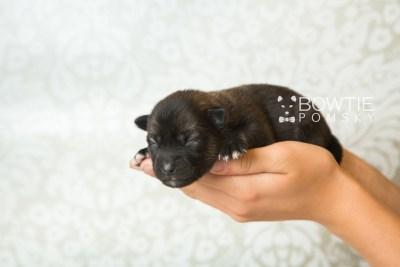 puppy61 week1 BowTiePomsky.com Bowtie Pomsky Puppy For Sale Husky Pomeranian Mini Dog Spokane WA Breeder Blue Eyes Pomskies web6