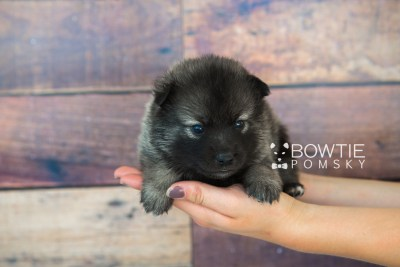 puppy61 week3 BowTiePomsky.com Bowtie Pomsky Puppy For Sale Husky Pomeranian Mini Dog Spokane WA Breeder Blue Eyes Pomskies web2