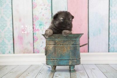 puppy61 week3 BowTiePomsky.com Bowtie Pomsky Puppy For Sale Husky Pomeranian Mini Dog Spokane WA Breeder Blue Eyes Pomskies web6