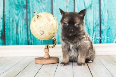 puppy61 week5 BowTiePomsky.com Bowtie Pomsky Puppy For Sale Husky Pomeranian Mini Dog Spokane WA Breeder Blue Eyes Pomskies web1