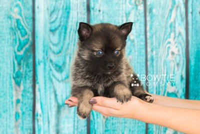 puppy61 week5 BowTiePomsky.com Bowtie Pomsky Puppy For Sale Husky Pomeranian Mini Dog Spokane WA Breeder Blue Eyes Pomskies web3