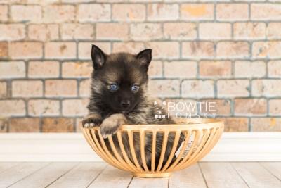 puppy61 week5 BowTiePomsky.com Bowtie Pomsky Puppy For Sale Husky Pomeranian Mini Dog Spokane WA Breeder Blue Eyes Pomskies web6
