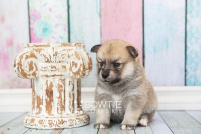 puppy62 week3 BowTiePomsky.com Bowtie Pomsky Puppy For Sale Husky Pomeranian Mini Dog Spokane WA Breeder Blue Eyes Pomskies web1