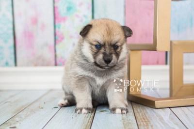 puppy62 week3 BowTiePomsky.com Bowtie Pomsky Puppy For Sale Husky Pomeranian Mini Dog Spokane WA Breeder Blue Eyes Pomskies web3