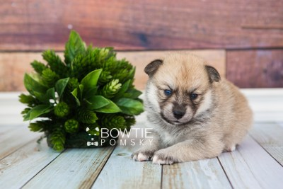 puppy62 week3 BowTiePomsky.com Bowtie Pomsky Puppy For Sale Husky Pomeranian Mini Dog Spokane WA Breeder Blue Eyes Pomskies web4