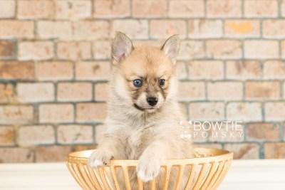 puppy62 week5 BowTiePomsky.com Bowtie Pomsky Puppy For Sale Husky Pomeranian Mini Dog Spokane WA Breeder Blue Eyes Pomskies web1