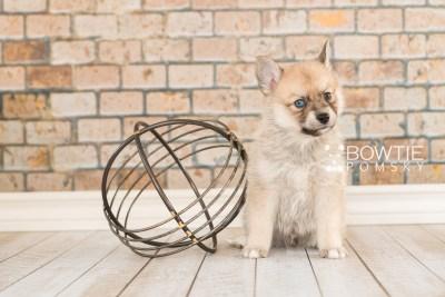 puppy62 week5 BowTiePomsky.com Bowtie Pomsky Puppy For Sale Husky Pomeranian Mini Dog Spokane WA Breeder Blue Eyes Pomskies web3