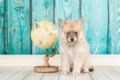 puppy62 week5 BowTiePomsky.com Bowtie Pomsky Puppy For Sale Husky Pomeranian Mini Dog Spokane WA Breeder Blue Eyes Pomskies web6