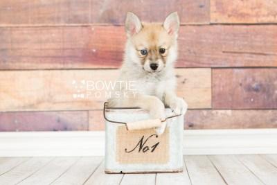 puppy62 week7 BowTiePomsky.com Bowtie Pomsky Puppy For Sale Husky Pomeranian Mini Dog Spokane WA Breeder Blue Eyes Pomskies web1