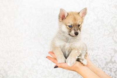puppy62 week7 BowTiePomsky.com Bowtie Pomsky Puppy For Sale Husky Pomeranian Mini Dog Spokane WA Breeder Blue Eyes Pomskies web6