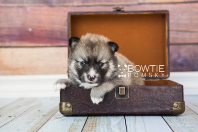 puppy63 week3 BowTiePomsky.com Bowtie Pomsky Puppy For Sale Husky Pomeranian Mini Dog Spokane WA Breeder Blue Eyes Pomskies web2
