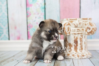 puppy63 week3 BowTiePomsky.com Bowtie Pomsky Puppy For Sale Husky Pomeranian Mini Dog Spokane WA Breeder Blue Eyes Pomskies web5