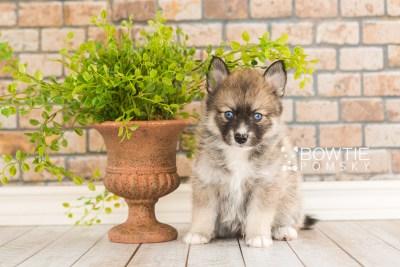 puppy63 week5 BowTiePomsky.com Bowtie Pomsky Puppy For Sale Husky Pomeranian Mini Dog Spokane WA Breeder Blue Eyes Pomskies web4