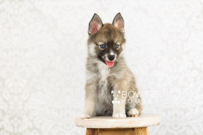puppy63 week7 BowTiePomsky.com Bowtie Pomsky Puppy For Sale Husky Pomeranian Mini Dog Spokane WA Breeder Blue Eyes Pomskies web3