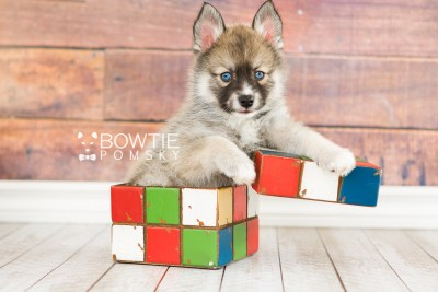 puppy63 week7 BowTiePomsky.com Bowtie Pomsky Puppy For Sale Husky Pomeranian Mini Dog Spokane WA Breeder Blue Eyes Pomskies web5