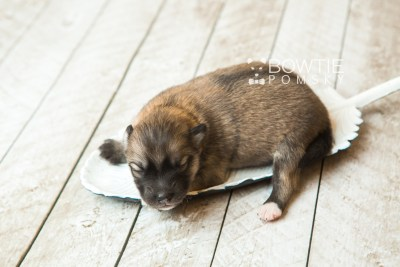 puppy64 week1 BowTiePomsky.com Bowtie Pomsky Puppy For Sale Husky Pomeranian Mini Dog Spokane WA Breeder Blue Eyes Pomskies web2