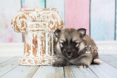 puppy64 week3 BowTiePomsky.com Bowtie Pomsky Puppy For Sale Husky Pomeranian Mini Dog Spokane WA Breeder Blue Eyes Pomskies web3