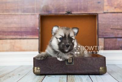puppy64 week3 BowTiePomsky.com Bowtie Pomsky Puppy For Sale Husky Pomeranian Mini Dog Spokane WA Breeder Blue Eyes Pomskies web5