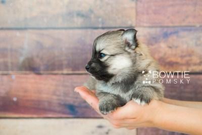 puppy64 week3 BowTiePomsky.com Bowtie Pomsky Puppy For Sale Husky Pomeranian Mini Dog Spokane WA Breeder Blue Eyes Pomskies web6