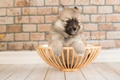 puppy64 week5 BowTiePomsky.com Bowtie Pomsky Puppy For Sale Husky Pomeranian Mini Dog Spokane WA Breeder Blue Eyes Pomskies web1