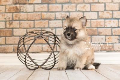 puppy64 week5 BowTiePomsky.com Bowtie Pomsky Puppy For Sale Husky Pomeranian Mini Dog Spokane WA Breeder Blue Eyes Pomskies web2