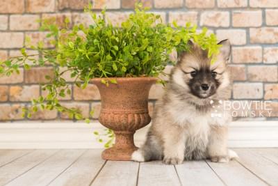 puppy64 week5 BowTiePomsky.com Bowtie Pomsky Puppy For Sale Husky Pomeranian Mini Dog Spokane WA Breeder Blue Eyes Pomskies web3