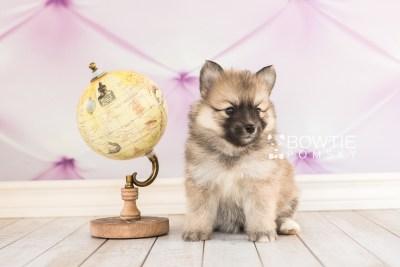 puppy64 week5 BowTiePomsky.com Bowtie Pomsky Puppy For Sale Husky Pomeranian Mini Dog Spokane WA Breeder Blue Eyes Pomskies web4