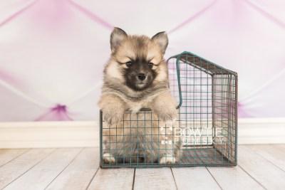 puppy64 week5 BowTiePomsky.com Bowtie Pomsky Puppy For Sale Husky Pomeranian Mini Dog Spokane WA Breeder Blue Eyes Pomskies web5
