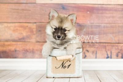 puppy64 week7 BowTiePomsky.com Bowtie Pomsky Puppy For Sale Husky Pomeranian Mini Dog Spokane WA Breeder Blue Eyes Pomskies web2