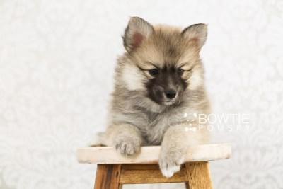 puppy64 week7 BowTiePomsky.com Bowtie Pomsky Puppy For Sale Husky Pomeranian Mini Dog Spokane WA Breeder Blue Eyes Pomskies web4