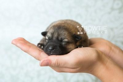 puppy65 week1 BowTiePomsky.com Bowtie Pomsky Puppy For Sale Husky Pomeranian Mini Dog Spokane WA Breeder Blue Eyes Pomskies web6