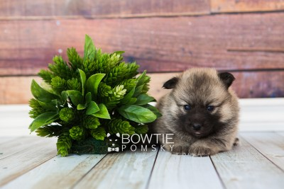 puppy65 week3 BowTiePomsky.com Bowtie Pomsky Puppy For Sale Husky Pomeranian Mini Dog Spokane WA Breeder Blue Eyes Pomskies web3