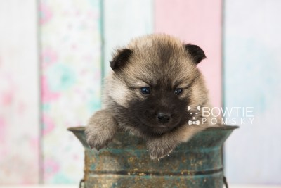 puppy65 week3 BowTiePomsky.com Bowtie Pomsky Puppy For Sale Husky Pomeranian Mini Dog Spokane WA Breeder Blue Eyes Pomskies web5