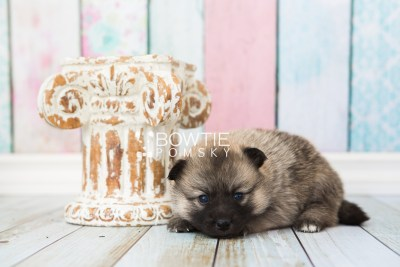 puppy65 week3 BowTiePomsky.com Bowtie Pomsky Puppy For Sale Husky Pomeranian Mini Dog Spokane WA Breeder Blue Eyes Pomskies web6