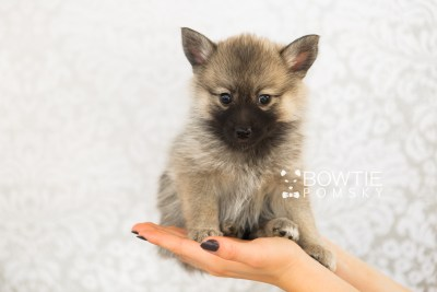 puppy65 week7 BowTiePomsky.com Bowtie Pomsky Puppy For Sale Husky Pomeranian Mini Dog Spokane WA Breeder Blue Eyes Pomskies web2