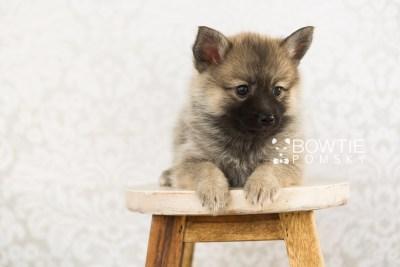 puppy65 week7 BowTiePomsky.com Bowtie Pomsky Puppy For Sale Husky Pomeranian Mini Dog Spokane WA Breeder Blue Eyes Pomskies web3