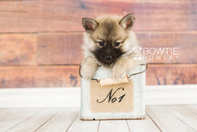 puppy65 week7 BowTiePomsky.com Bowtie Pomsky Puppy For Sale Husky Pomeranian Mini Dog Spokane WA Breeder Blue Eyes Pomskies web6
