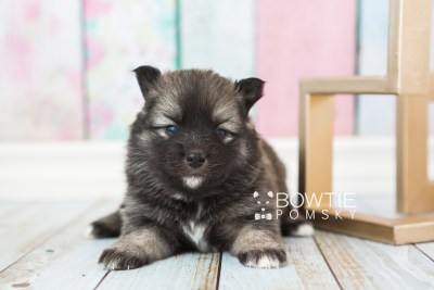 puppy66 week3 BowTiePomsky.com Bowtie Pomsky Puppy For Sale Husky Pomeranian Mini Dog Spokane WA Breeder Blue Eyes Pomskies web3