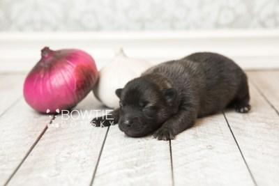 puppy67 week1 BowTiePomsky.com Bowtie Pomsky Puppy For Sale Husky Pomeranian Mini Dog Spokane WA Breeder Blue Eyes Pomskies web3