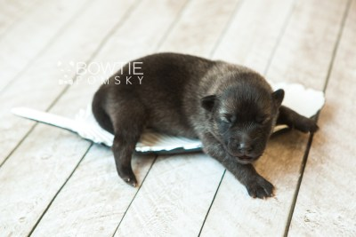 puppy67 week1 BowTiePomsky.com Bowtie Pomsky Puppy For Sale Husky Pomeranian Mini Dog Spokane WA Breeder Blue Eyes Pomskies web4