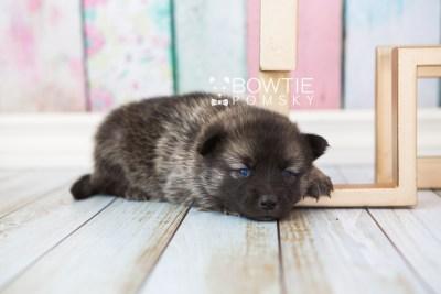 puppy67 week3 BowTiePomsky.com Bowtie Pomsky Puppy For Sale Husky Pomeranian Mini Dog Spokane WA Breeder Blue Eyes Pomskies web4
