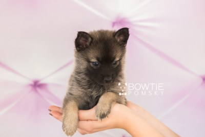 puppy67 week5 BowTiePomsky.com Bowtie Pomsky Puppy For Sale Husky Pomeranian Mini Dog Spokane WA Breeder Blue Eyes Pomskies web1