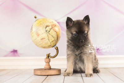puppy67 week5 BowTiePomsky.com Bowtie Pomsky Puppy For Sale Husky Pomeranian Mini Dog Spokane WA Breeder Blue Eyes Pomskies web3