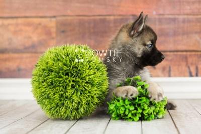 puppy67 week7 BowTiePomsky.com Bowtie Pomsky Puppy For Sale Husky Pomeranian Mini Dog Spokane WA Breeder Blue Eyes Pomskies web4