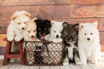 puppy68-73 week7 BowTiePomsky.com Bowtie Pomsky Puppy For Sale Husky Pomeranian Mini Dog Spokane WA Breeder Blue Eyes Pomskies web