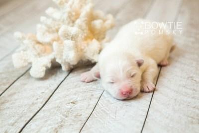 puppy68 week1 BowTiePomsky.com Bowtie Pomsky Puppy For Sale Husky Pomeranian Mini Dog Spokane WA Breeder Blue Eyes Pomskies web3