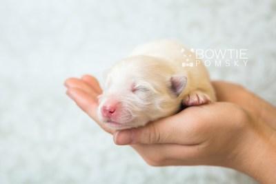 puppy68 week1 BowTiePomsky.com Bowtie Pomsky Puppy For Sale Husky Pomeranian Mini Dog Spokane WA Breeder Blue Eyes Pomskies web6