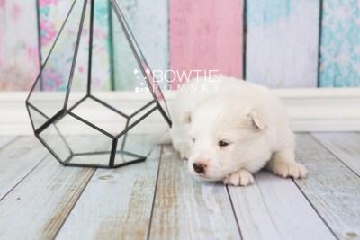 puppy68 week3 BowTiePomsky.com Bowtie Pomsky Puppy For Sale Husky Pomeranian Mini Dog Spokane WA Breeder Blue Eyes Pomskies web1
